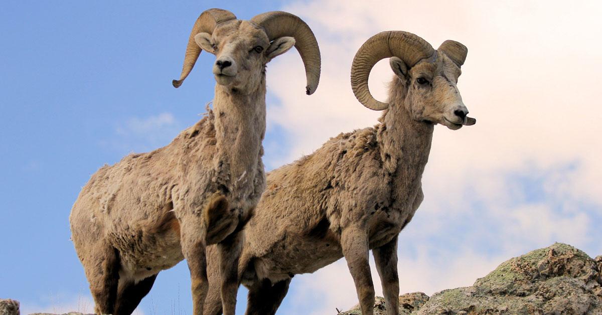 Bighorn Sheep Wyoming