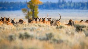 Wildlife Migrations: Where to Find Wyoming Wildlife on the Move