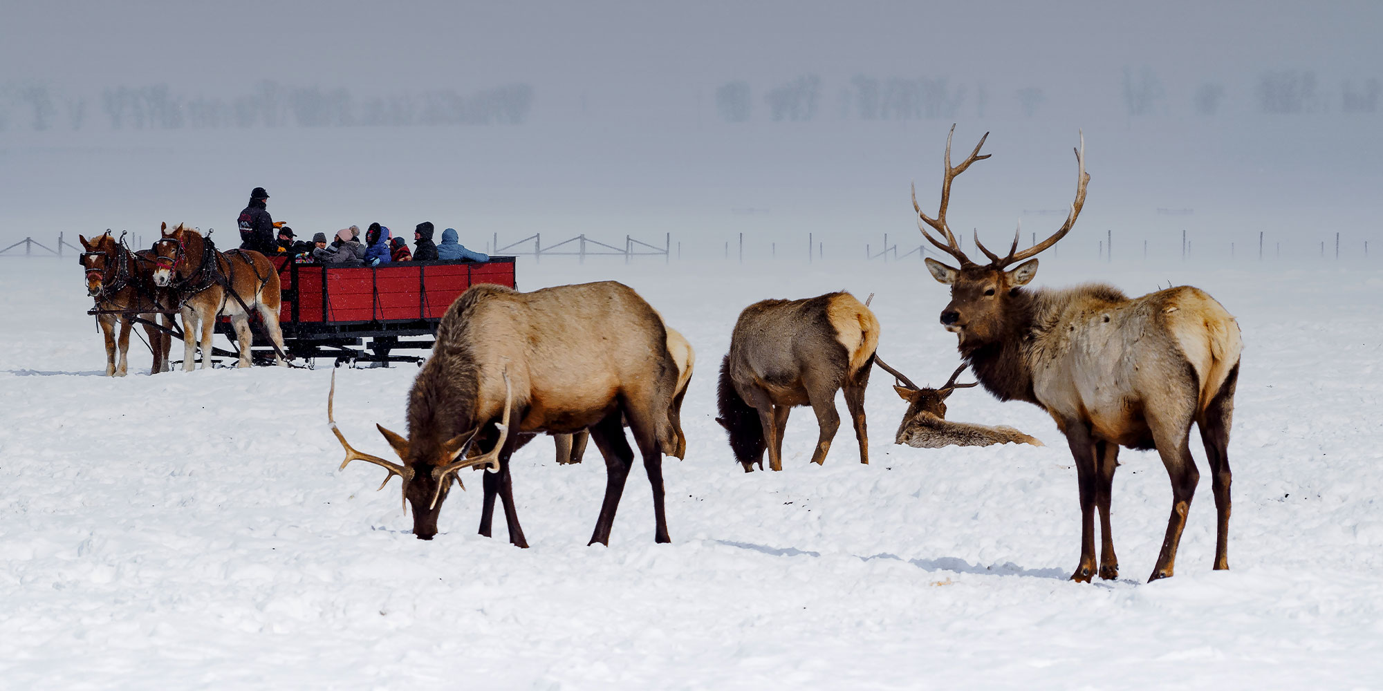 Elk by sleigh riders