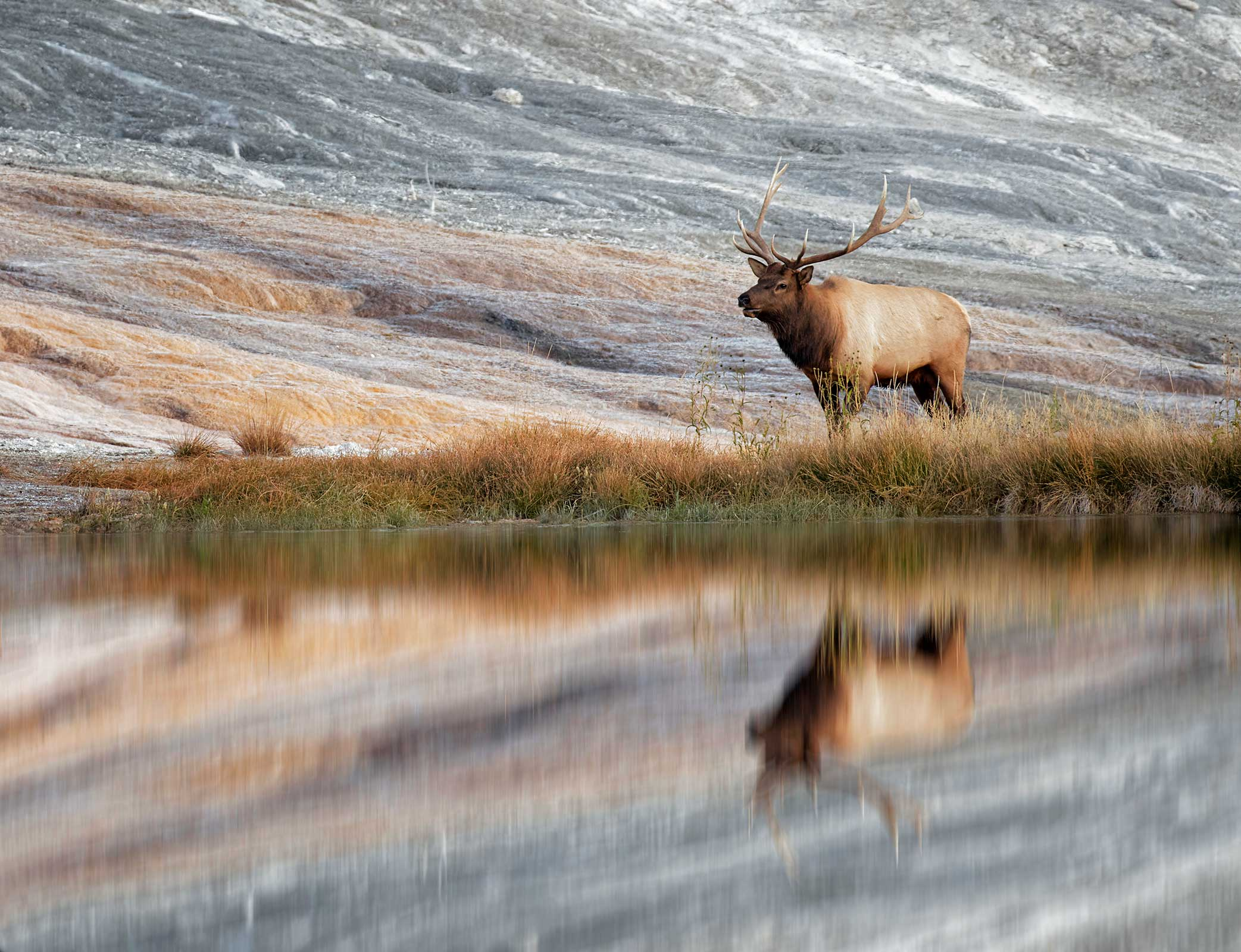 Elk calling by lake