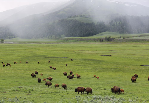 herd of buffalo in field
