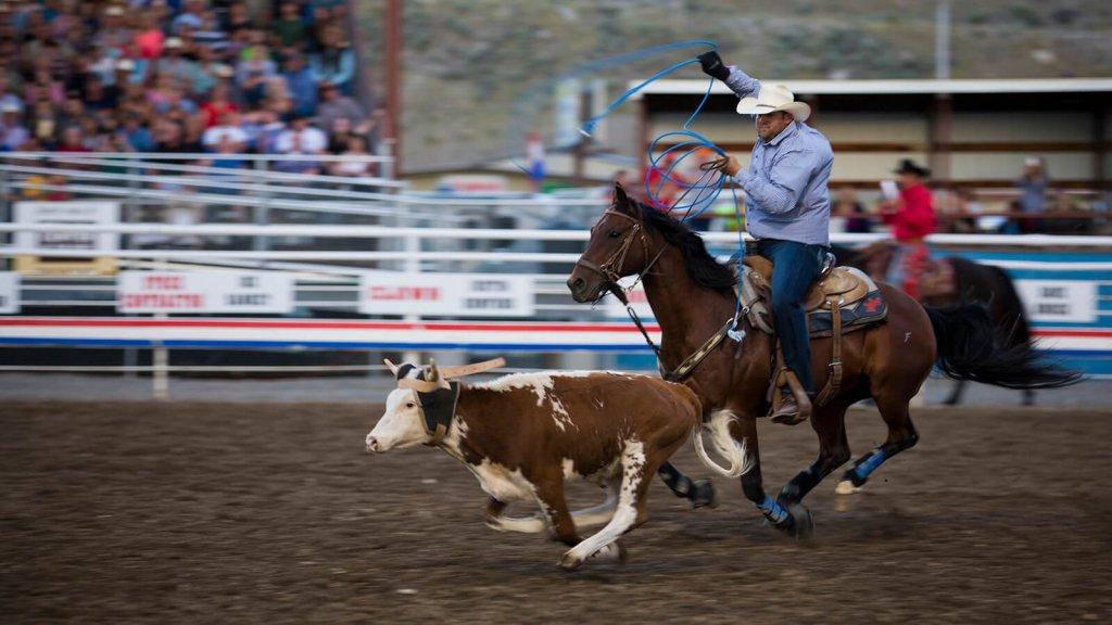 calf roper on horseback after cow