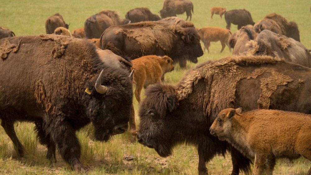 bison herd up close