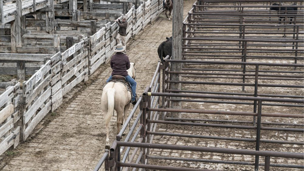 Horseback rider in cattle arena