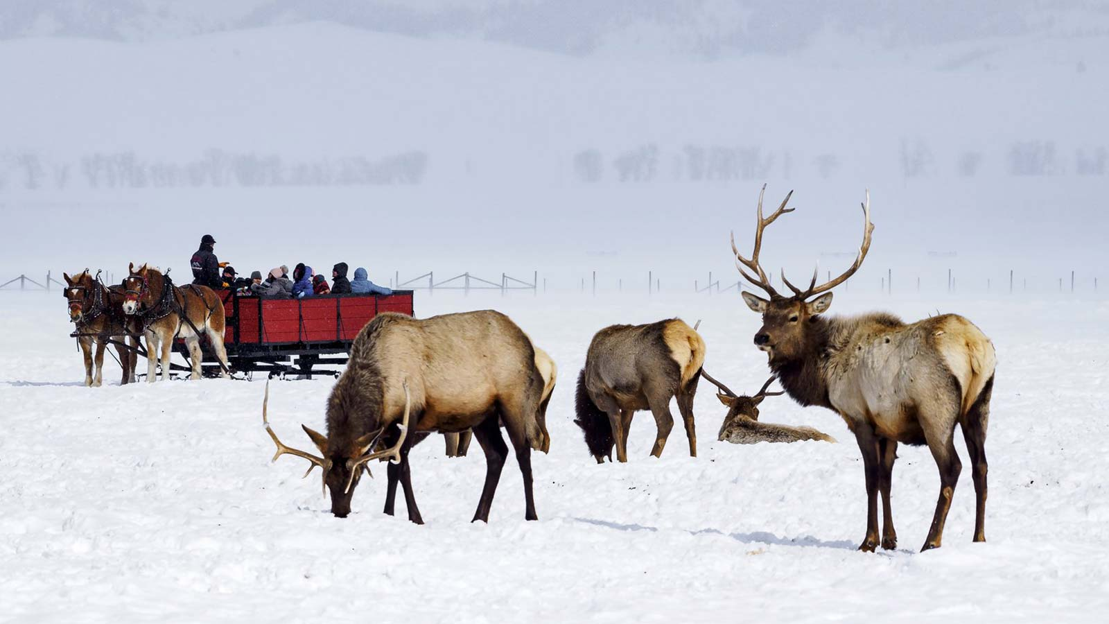 Horses pulling sleigh behind elk herd