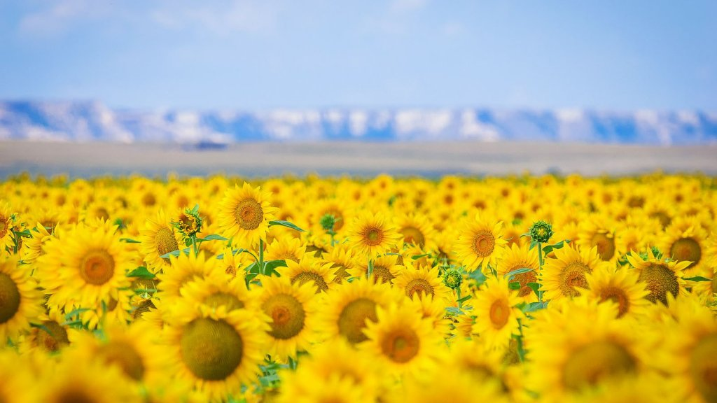 A sea of sunflowers in Goshen County, Wyoming.