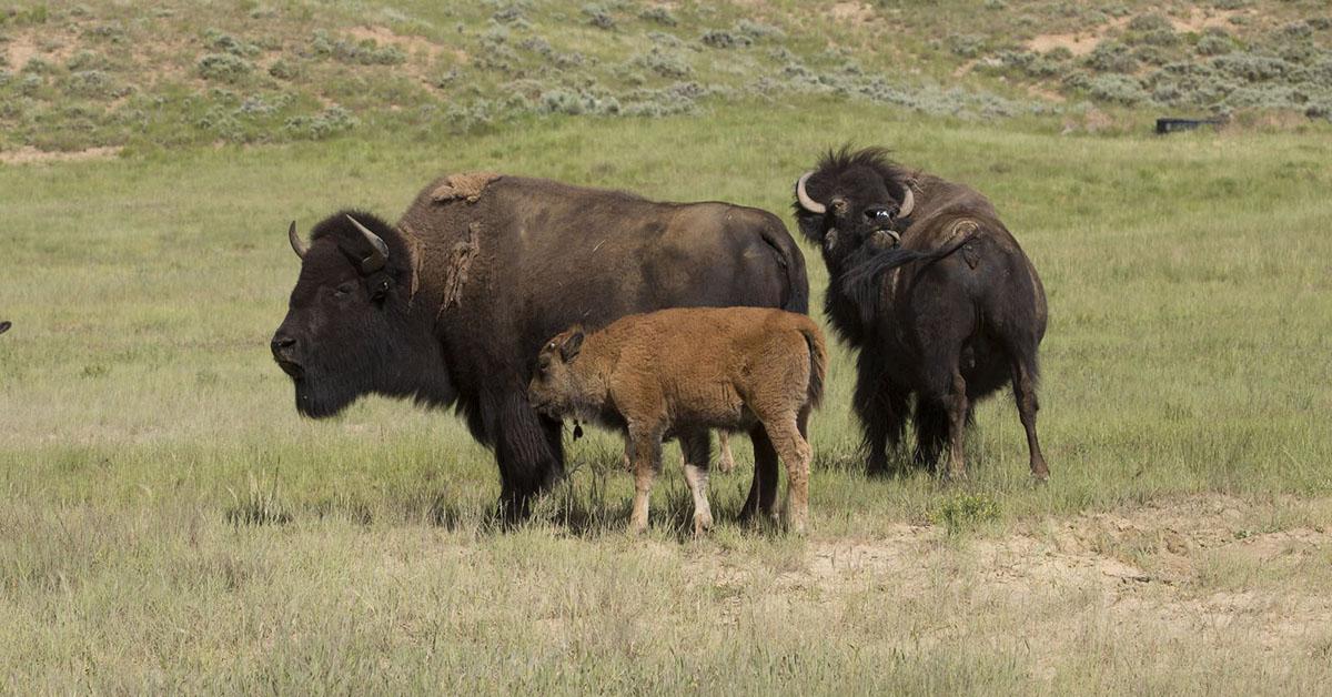Bison on the prairie