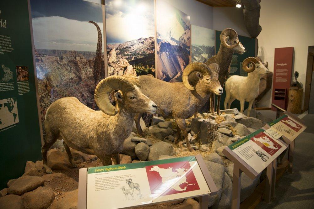 Display of Big Horn Sheep