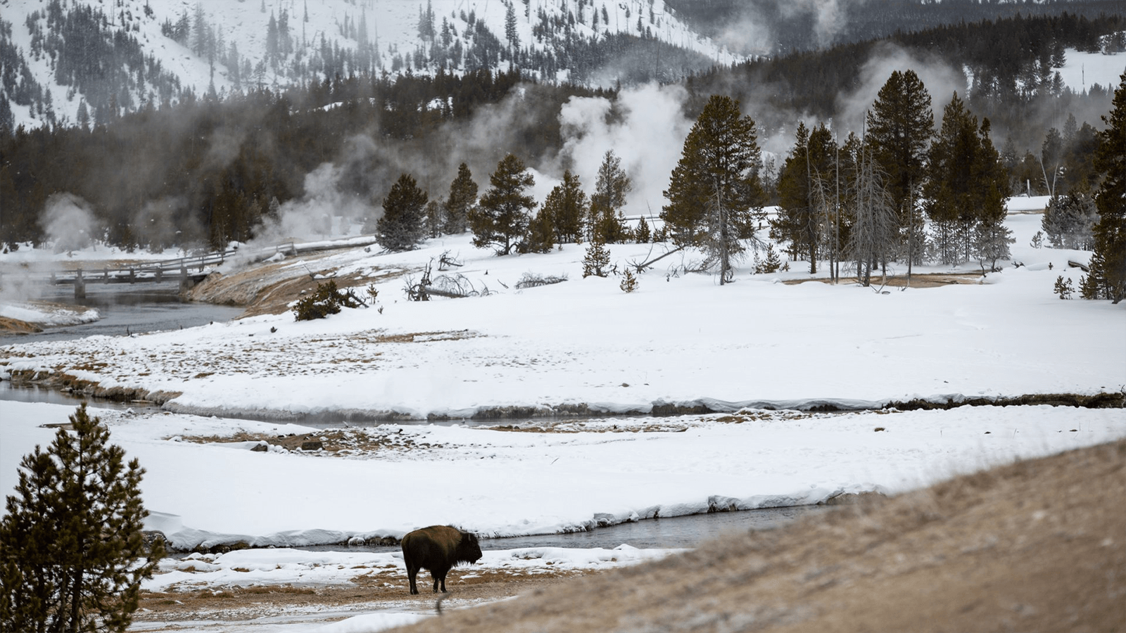 bison in front of geysers and fog