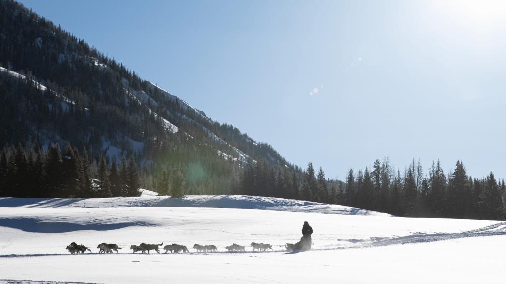 dogledding dogs across winter scene